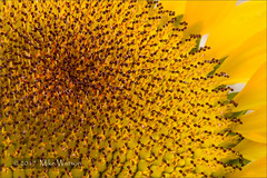 Close up of Sunflower (WatsonMike) Tags: helicon lightroom multiple newkeywords sunflower bright close color combined detail different flora flower focus pattern plant points pollen processed shots slightly