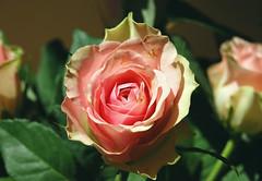 In Bloom (rachael_lea) Tags: rose pink flower bouquet