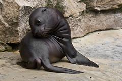 Mini- Seelöwe (Anja Anlauf) Tags: kalifornischer seelöwe säugetier tier