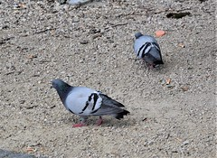 Pigeons 14.07 (4) (tabbynera) Tags: pigeons