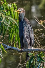 Cloaked In Mystery (gecko47) Tags: bird darter snakebird male perched drying brisbane camphill pond suburbia anhinganovaehollandiae australasiandarter