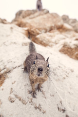 Curious George (gstening) Tags: curious george squirrel sand beach clouds grey brown closeup wide angle sigmaex20mm primelens prime nature animal canoneos5dmarkii usa america northamerica outdoors wild sigma sigmaex2018dg nose whiskers 17 mile drive 17miledrive pebble dof bokeh