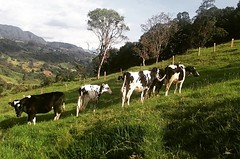 Holstein Colombia por cayisn (cayisn) Tags: instagramapp square squareformat iphoneography uploaded:by=instagram ludwig