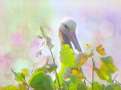 IMG_4928 after the rain (pinktigger) Tags: stork cigüeña storch cicogne ooievaar ciconiaciconia cicogna cegonha bird nature fagagna feagne friuli italy italia oasideiquadris animal outdoor leaves