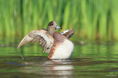American wigeon - Canard d'Amérique - Anas americana (Maxime Legare-Vezina) Tags: bird oiseau nature wildlife animal canon quebec canada