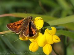 Large Skipper - Ochlodes sylvanus. Best viewed large (Explored) (hunt.keith27) Tags: large skipper ochlodes sylvanus largeskipper ochlodessylvanus dorset durlstoncountrypark