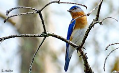 Bluebird (Suzanham) Tags: bluebird nature wildlife mississippi songbird colorful noxubeewildliferefuge perching canonpowershotsx60hs