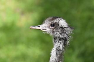 Nandu szare. Gray rhea. Rhea americana.
