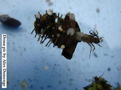 Cased Caddis (A. username) Tags: casedcaddis caddislarvae freshwaterinvertebrates photocompetition riverflies insectlarvae caddis trichoptera