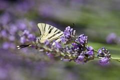 Cache cache (benjamin urbain) Tags: macro extérieur nature fleur lavande insectes d3300 papillon flambé