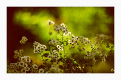 The Summer begins :-) (angel.doychinov) Tags: bokeh nature flowers smc pentaxm 50mm manualfocus vintagelens pentax k5 defocus