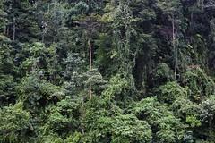 Original Rainforest (alida behind the camera) Tags: gunungleuser nationalpark park forest jungle rainforest orangutan biosphere ecosystem wildlife nature apes
