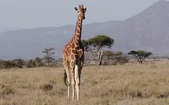 World Giraffe Day June 21, 2017 (Susan Roehl) Tags: kenyatrip2015 samburunationalreserve kenya africa reticulatedgiraffe animal mammal worldgiraffeday sueroehl photographictours naturalexposures lumixdmcgh4 100400mmlens handheld takenfromjeep habitatloss poaching humanpopulationgrowth ngc sunrays5