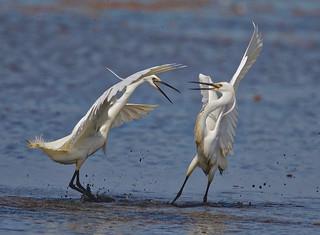 Little Egret (1 of 3)