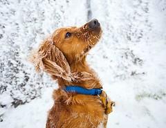 Throw back to some more cooler days, when we climbed Galty Mór mountain in the snow. #throwbackthursday • • • • • #campingwithdogs #hikingwithdogs #dogsonadventures #dogsthathike #adventuredog #thestatelyhound #houndandlife #backcountrypaws #doglove #hiki (watson_the_adventure_dog) Tags: throw back some more cooler days when we climbed galty mór mountain snow throwbackthursday • campingwithdogs hikingwithdogs dogsonadventures dogsthathike adventuredog thestatelyhound houndandlife backcountrypaws doglove hikingdogsofinstagram excellentdogs adventureswithdogs topdogphoto heelergram hikingdog animaladdicts traildog ireland bestwoof campingcollective visualsgang wanderireland instaireland inspireland irishpassion irelandgram campingculture stayandwander