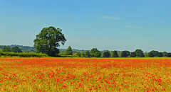 Poppies in barley, Bradfield, Berkshire, England (Oswald Bertram) Tags: poppy mohnblumen mohn mohnblume coquelicot coquelicots amapola amapolas papaveri papvero northwessexdowns