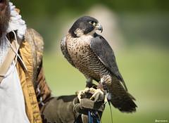 Peregrine Falcon. (_Anathemus_) Tags: peregrine falcon display historic falconry corfe castle dorset uk england bird prey nikon d750