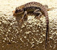 20170623 Desert spiney lizard with a cock roach lunch (lasertrimman) Tags: 20170623 desert spiney lizard with cock roach lunch desertspineylizard cockroachlunch