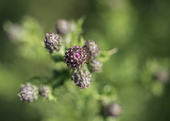 before the show (Emma Varley) Tags: thistle bud purple shallowdepthoffield bokeh wild wildflower plant summer sussex