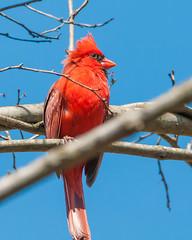 04102017-163-3+ (bjf41) Tags: cardinal northern re edit redo red bird tree