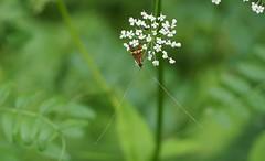 Langfühler (michaelmueller410) Tags: schmetterling butterfly fühler dolde käfer insekt insekten grün sommer wiese