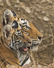 Tigress with cub (Devendra Deshmukh) Tags: tiger tigress india rajasthan nikon d500 500mmf4 travel ranthambhore