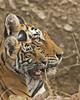 Tigress with cub (Devendra Deshmukh) Tags: tiger tigress india rajasthan nikon d500 500mmf4 travel ranthambhore