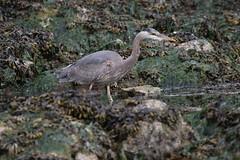 Great Blue Heron searching for food (Paul Cottis) Tags: bird heron victoria oakbay paulcottis may 2017 vancouverisland 18 upland