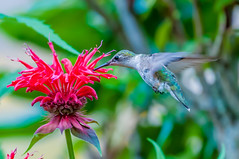 06252017-62-1 (Bill Friggle Photography) Tags: ruby throated hummingbird flower plants feeding hovering flying middlecreek middle creek wildlife management area wma middlecreekwma middlecreekwildlife