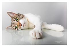 Lola...again... (Troylo@stur) Tags: lola gato gata cat mascota pet pets
