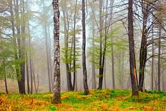 Il ritorno della nebbia.... (Marco Allegro) Tags: natura nebbia alberi bosco