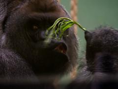 P6210283.jpg (Coleta) Tags: blijdorp gorilla bokito