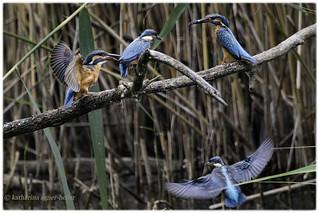 Faszination Eisvogel - Fascination Kingfisher