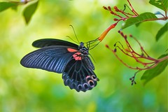 Papilio thaiwanus (Changer4Ever) Tags: nikon d7200 nikkor butterfly animal life nature color colorful bokeh dof depthoffield closeup macro outdoor season bright light wild wildlife