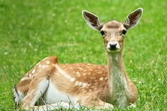Fallow deer (yve_all) Tags: fallowdeer damwild natur nature licht light farben colours blickwinkel view
