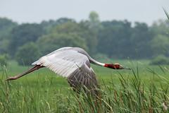 Sarus Crane: in flight (Santanu Sen) Tags: animal bird crane saruscrane vulnerable tallestflyingbird birdinflight bif gujarat india