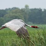 Sarus Crane: in flight thumbnail