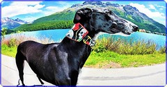 The dog from St. Moritz (Ioan BACIVAROV Photography) Tags: dog animal chien caine stmoritz lake mountain fisheye wideangle bacivarov ioanbacivarov bacivarovphotostream interesting beautiful wonderful wonderfulphoto nikon journalism photojournalism nature natura littledoglaughedstories