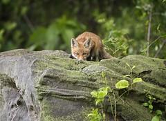 Peek a Boo... (DTT67) Tags: redfox fox kit pup wildlife nature nationalgeographic mammal animal outdoors maryland canon 1dxmkii 500mmii 14xtciii sneaky sly hiding