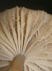 Champagne velvet gill mushroom Hygrocybe sp Hygrophoraceae Airlie Beach rainforest P1030843 (Steve & Alison1) Tags: champagne velvet gill mushroom hygrocybe sp hygrophoraceae airlie beach rainforest hygrocybesp arfp qrfp tropicalarf arffungi brownarffungi