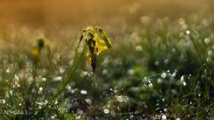 Rugiada.... (Michele Villafranca.) Tags: natura rugiada sonyilce6000 tamron90mmmacro fiore