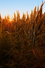 All-Bran Sunset (martijnvdnat) Tags: cerealplant goldcolored ruralscene summer agriculture crop dry farm field food growth harvesting nature outdoors plant season sky sunlight wheat yellow