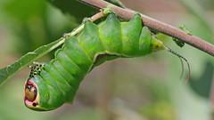 Puss Moth Caterpillar - Cenrura vinula (jaytee27) Tags: pussmothcaterpillar ceruravinula naturethroughthelens