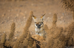 _04A8971 (Paolo_Riquelme_Quiroz) Tags: zorro gris chilla grey fox animales animals fauna nativa desierto desert cactus punta de choros la serena coquimbo reserva nacional sigma 150600mm contemporary canon 5d mark iii