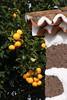 La Palma, Canarias 2016 (mikina14) Tags: kanáry canarias canaryislands kanárskéostrovy lapalma lastricias pomeranè orange pomeranč