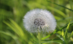 Doux / Soft (deplour) Tags: fleur pollen pissenlit dandelion flower polen doux blanc soft white