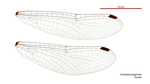 Cordulephya pygmaea female wings