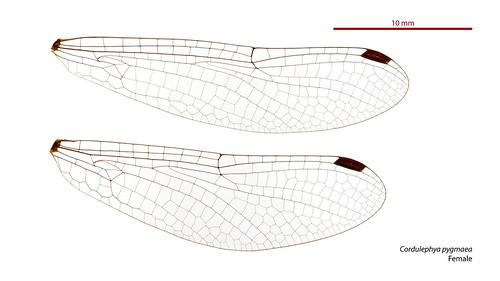 Cordulephya pygmaea female wings