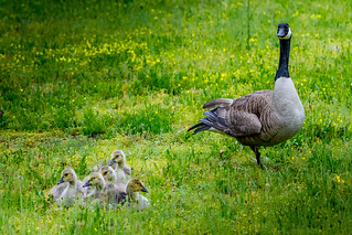 A Goose and Five, Maybe Six Goslings in Riverdale