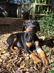 Outside 2015-12-05 (PiscesTiger24) Tags: drache dragon doberman dobermann puppy baby girl female black dog hund schwarz outside leaves cute sweet play playful animal